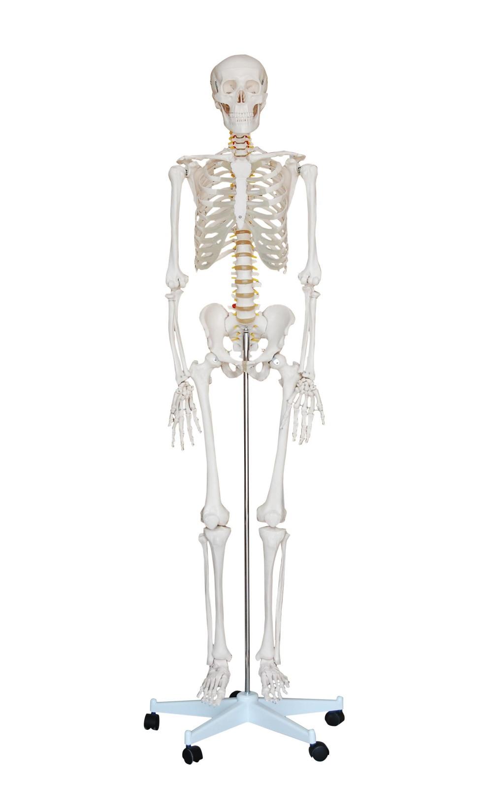 Human Skeleton Anatomical Model 180cm - Medical Anatomy, Life-size ...